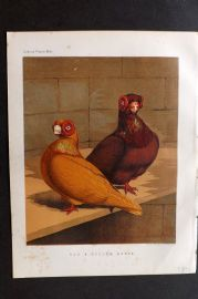 Fulton - Pigeons 1878 Antique Bird Print. Red & Yellow Barbs